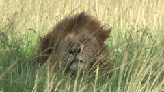 A lion testing the wind for smell Stock Footage