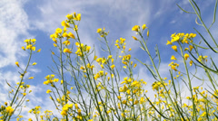 Blossoms flowers of Rapeseed  on the blue sky Stock Footage