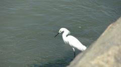 048 Laguna, Big snowy egret (Egretta thula) at sea side Stock Footage