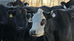 A closeup of black & white cows in a pasture Stock Footage