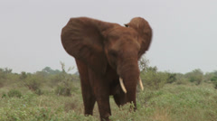 An angry elephant charging for a fight Stock Footage