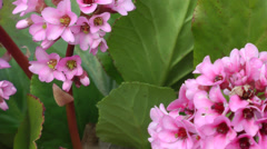 Pink flowers in bloom blowing in the spring winds HD Stock Footage