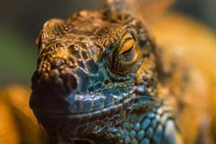 guana lizard - stock photo