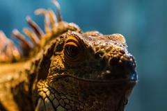 Guana lizard Stock Photos