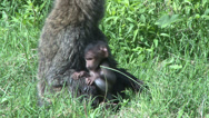 Stock Video Footage of baboon mother and baby