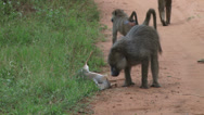 Stock Video Footage of baboons inspecting a dead dik dik