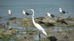 063 Laguna, Big snowy egret (Egretta thula), seagulls at sea side sunbathing. Stock Footage