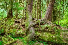 Nurse tree in olympic national park Stock Photos