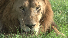 A wounded lion tries to walk Stock Footage
