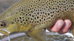 Close-up of cutthroat trout caught while fly fishing Stock Footage
