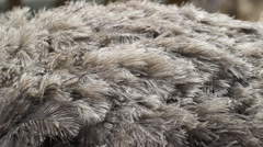 Ostrich's fur. Stock Footage