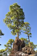 Canarian Pine on a big lava stone in front of blue sky - stock photo