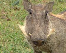 Medium close up of a warthog, Addo Elephant Park - stock footage