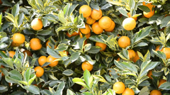 orange on tree in garden plant (pan shot) - stock footage