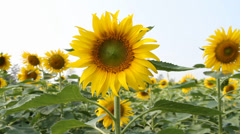 Dancing sunflower. Stock Footage