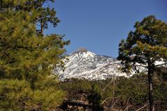 Canarian pine Stock Photos