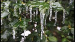 Ice on a Holly 3 - stock footage