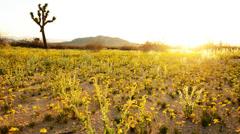 4K Desert Golden Flower Carpet Time Lapse -Zoom In- Stock Footage