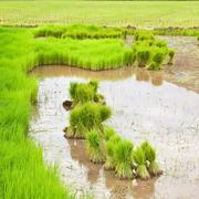 Paddy rice in field Stock Photos