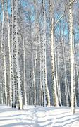Walkway in sunny birch forest Stock Photos