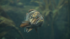 Close-up of grouper in Seward, Alaska. Stock Footage