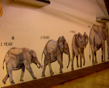 Wall paintings of elephants panning to an elephant skeleton, educational centre Stock Footage