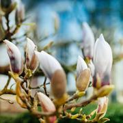 Stock Photo of magnolia flower buds soon to blossom