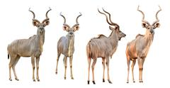 Collection of male kudu isolated Stock Photos