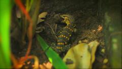 A yellow and black monitor lizard shakes around it's frog prey Stock Footage