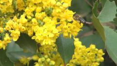Flying Honey Bee Pollinating a Field Yellow Flower, Gathering Pollen, Macro Stock Footage