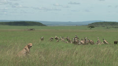 Cheetah mother and baby guarding a kill from vultures Stock Footage