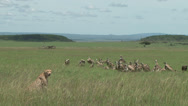 Stock Video Footage of cheetah mother and baby guarding a kill from vultures