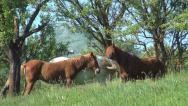 Stock Video Footage of Mountain Horses in Green Grass on Meadow by Trees at Countryside, Rustic View