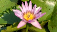 MVI 6538fix24bee on purple lotus as background - stock footage