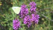 Stock Video Footage of White Butterfly Flying on Levader Flower, Butterfly in Flight, Field Wild Grass