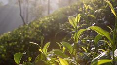 Early morning sun rays shining through trees onto tea plantation Stock Footage