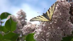 Butterfly on Lily Flower, Butterfly Gathering Pollen in Spring, Pollination Stock Footage
