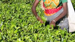 Tea plucker picking tea on plantation Stock Footage