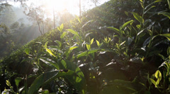 Early morning sun rays shining through trees onto tea plantation Stock Footage