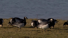 BARNACLE GEESE #1 Stock Footage