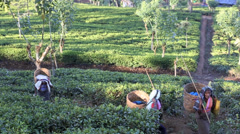 Tea pickers walking to work through plantation Stock Footage