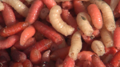 Maggots as Bait for Fishing Rod, Worms for Fishing Hook, Food for Fish Stock Footage