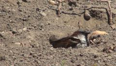 Wet Sparrow Bird Playing, Drying on a Desert Sandy Ground on a Hot Summer Day Stock Footage