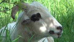 Close up of a Chewing, Eating Head Sheep on Meadow, Field, Farming Stock Footage