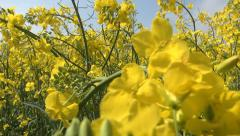Flying on Rapeseed in Agriculture Field, POV, View, Walking in Yellow Rape Stock Footage