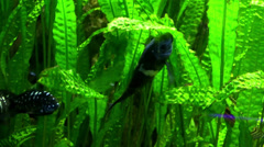fishes among the seaweed in aquarium - stock footage