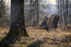 Fallen trees - Storm damage Stock Photos