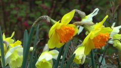 Orange flowers Daffodils blowing in the wind HD Stock Footage