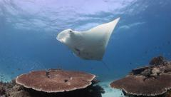 Manta ray gliding over coral bommie Stock Footage