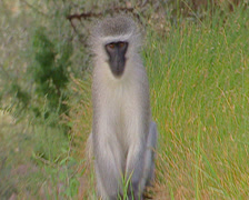 Vervet monkey, Addo Elephant Park Stock Footage
